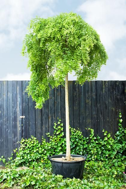 Kleine Bomen Voor In De Tuin.Boom In De Tuin Mijn Tuin Tuin Schutting Tuin En Kleine Bomen