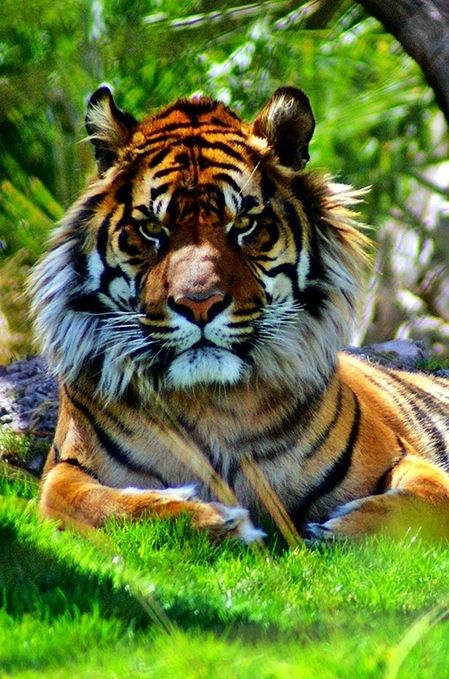 There Are Thought To Be More Tigers In Captivity In America