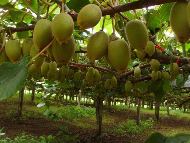 Kiwis Grow On Vines And Are Cultivated Like Grapes Kiwi Vines Kiwi Vine Fruit Tree Garden Kiwi Growing