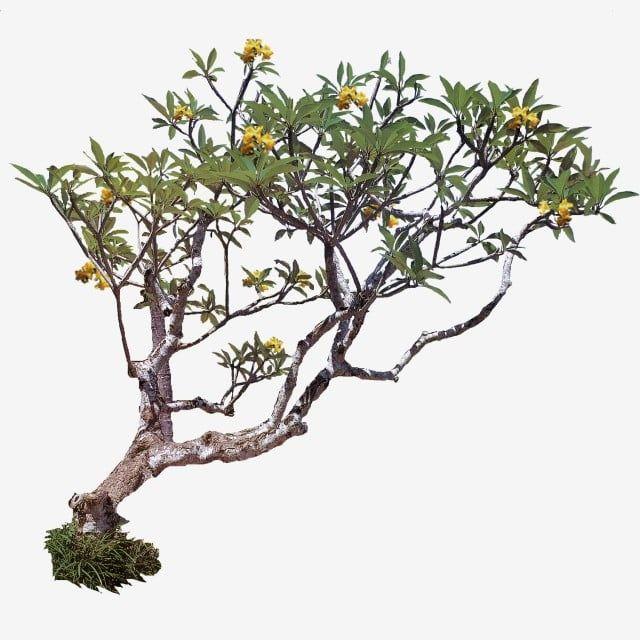Gambar Plumeria Pohon Kamboja Kuning Pohon Tanaman Pohon Pohon Indonesia Png Transparan Clipart Dan File Psd Untuk Unduh Gratis Tree Photoshop Plumeria Frangipani Tree