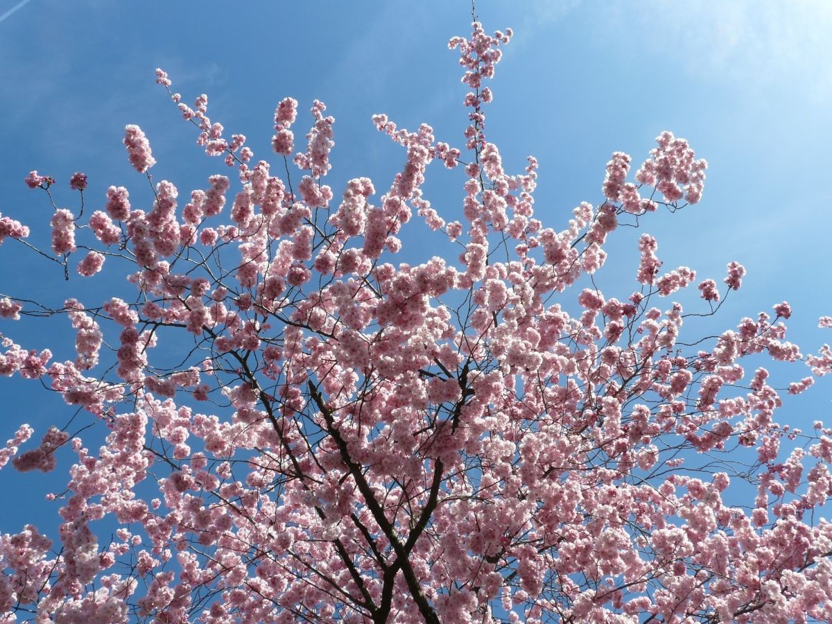 It S That Time Of Year That Photographers Love And Dread In Equal Measure Cherry Blossom Season In 1912 Ornamental Cherry Japanese Cherry Tree Cherry Blossom