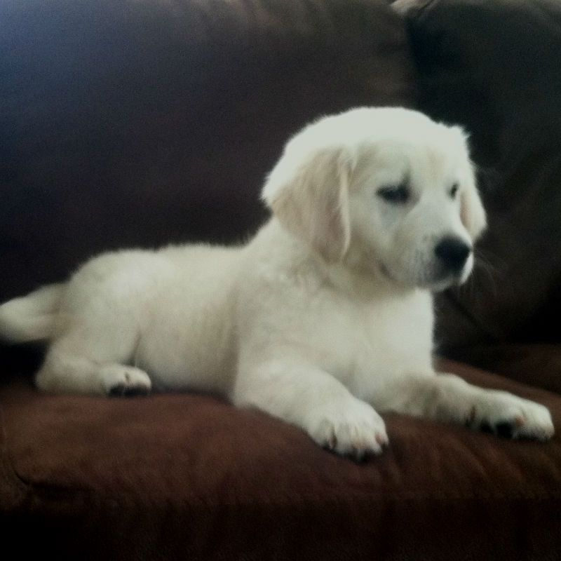 English Cream Golden Retriever Puppy For Sale White Golden