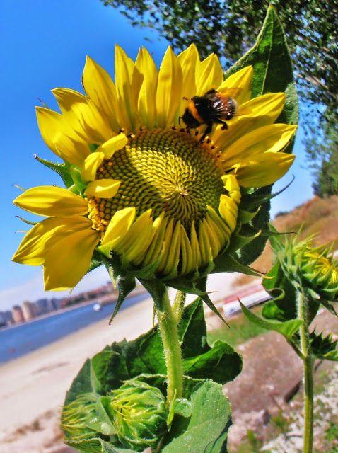 Magic pictures - Ricardo almeida: Gira Sol na Praia , Sun Flower