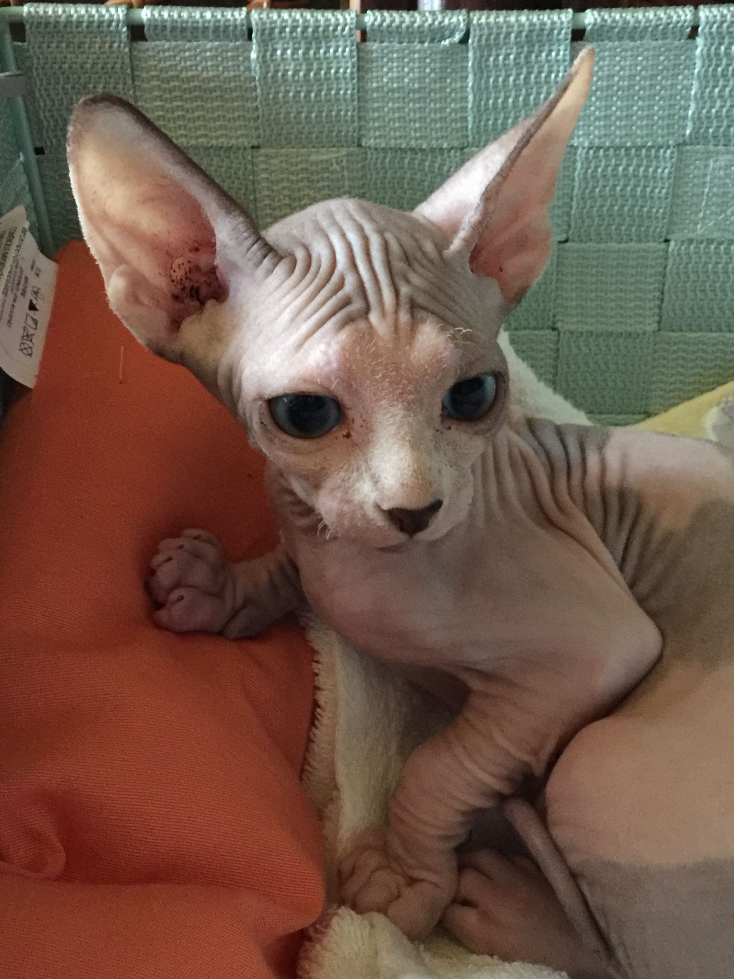 Pin By Nanda On Sphynx Cat Hairless Cat Cute Cats Sphynx Cat