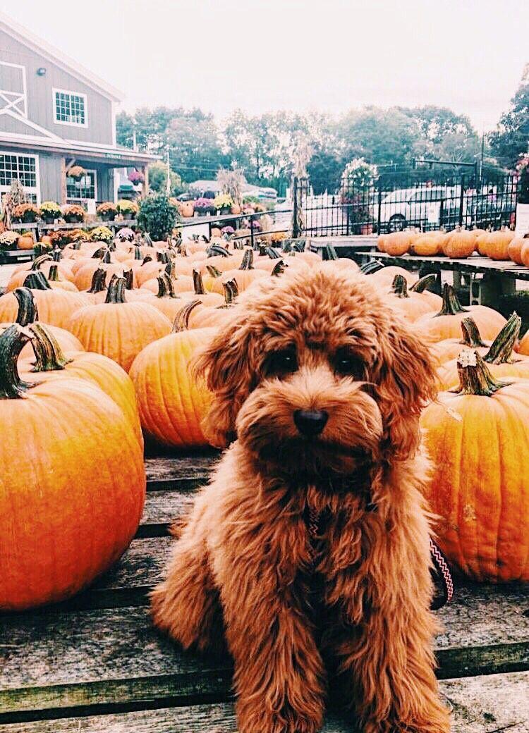 Dog, animal, aesthetic, puppy, autumn, fall, pumpkin, cute