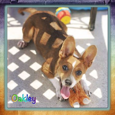 Oakley Is A Male Brown White Corgi Chihuahua Mix 6 Months Old