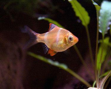 Albino Tiger Barb Pet Fish Fish Saltwater Aquarium Fish