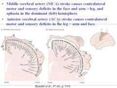 Middle cerebral artery (MCA) stroke causes contralateral motor and ...