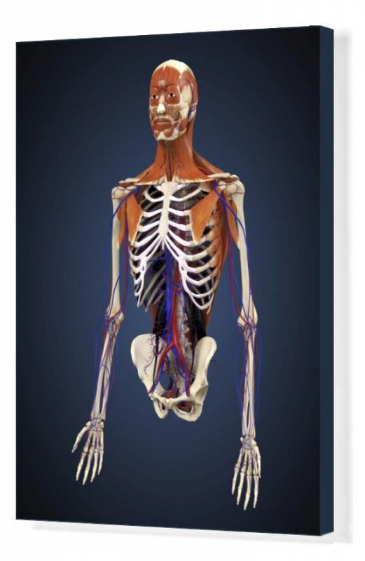 27+ Box Canvas Print. Human upper body showing bones, muscles and