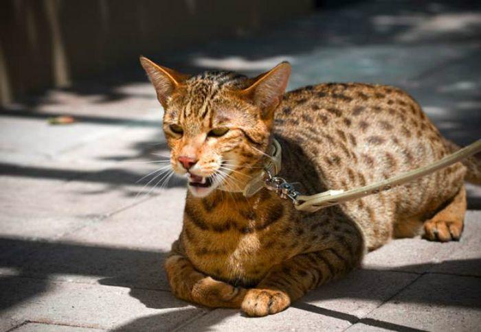 an ashera can cost 125, 000 a rare breed Ashera cat