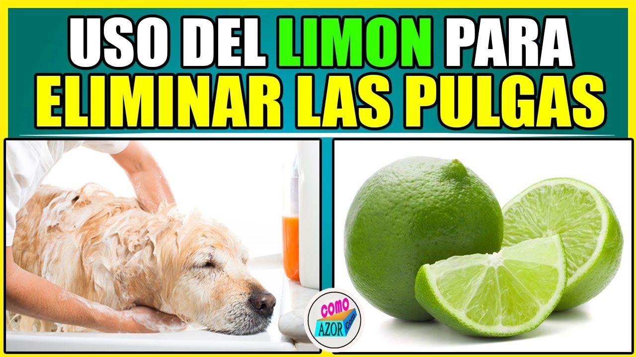 Como Acabar Con Las Pulgas En El Jardin Uso Del Limon Para Eliminar Las Pulgas Youtube Usos Del Limon