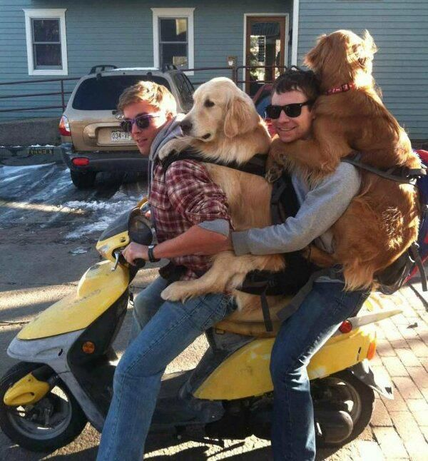Men with dogs on moped...