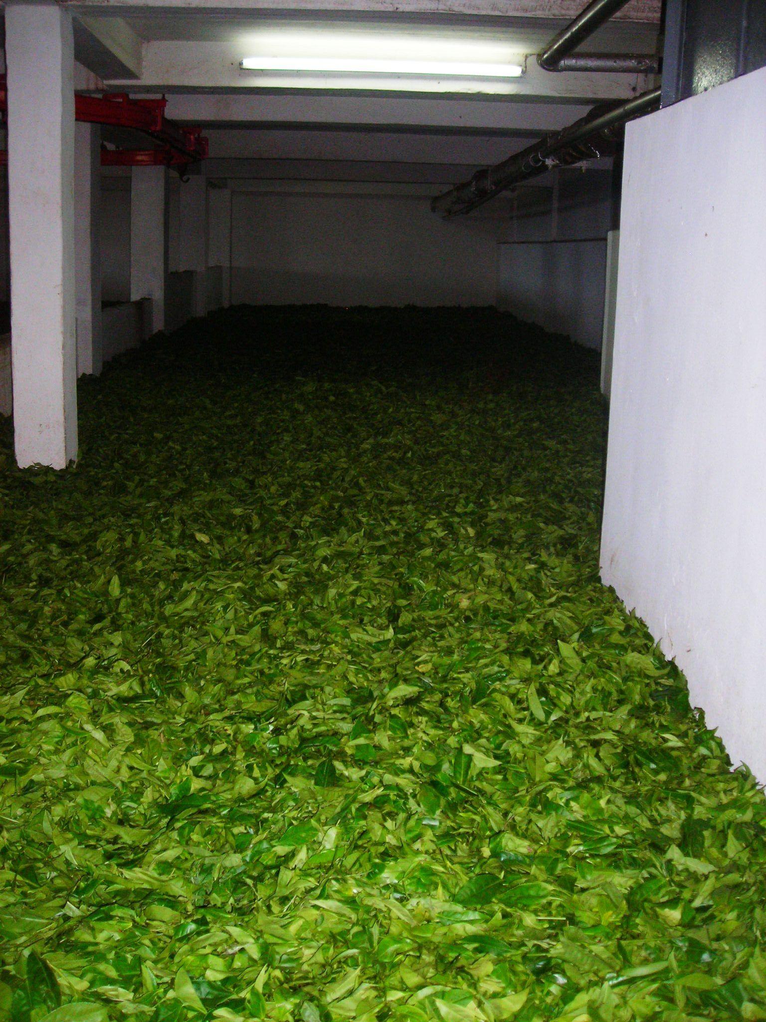 Tea leaves - Mauritius