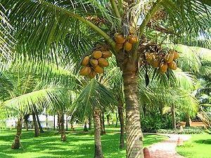 noix de coco arbre