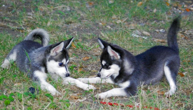 Alaskan klee kai just love these dogs please check out