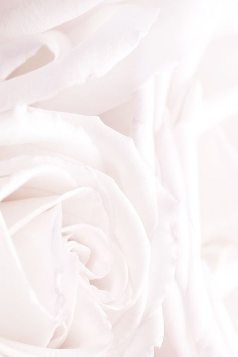 White roses phone iphone wallpaper background lock screen  White roses phone iphone wallpaper background lock screen