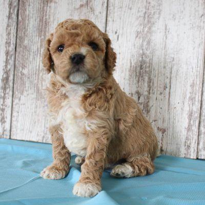 Cain Cavapoo pup for sale near Shipshewana, Indiana in