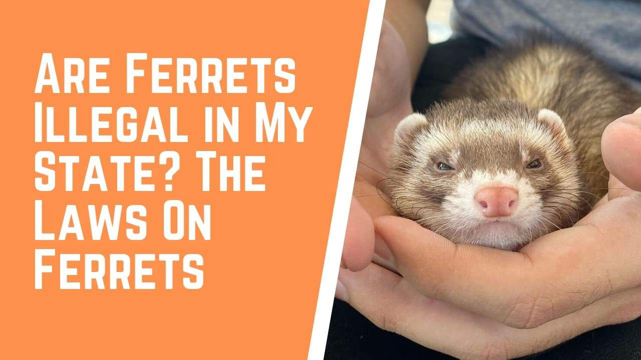 Ferret 3 Ferret Pet Store Fur Kids