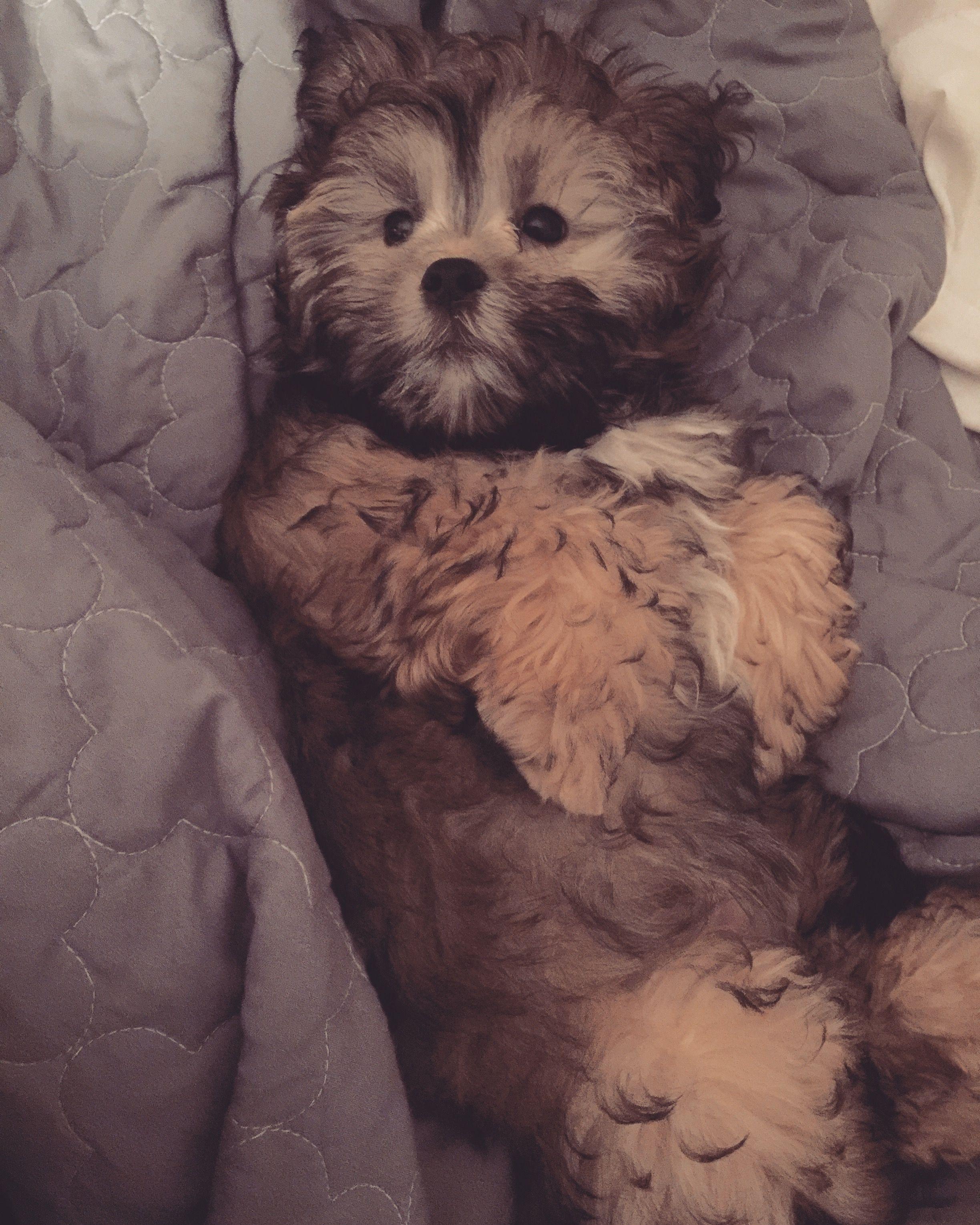 Shih Tzu Corgi Mix Puppies Cute Puppies Corgi Mix