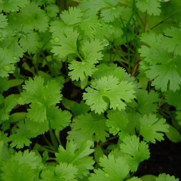 Coriander Panipat Desi Vegetable Seeds Growing Cilantro Container Gardening Vegetables Herbs