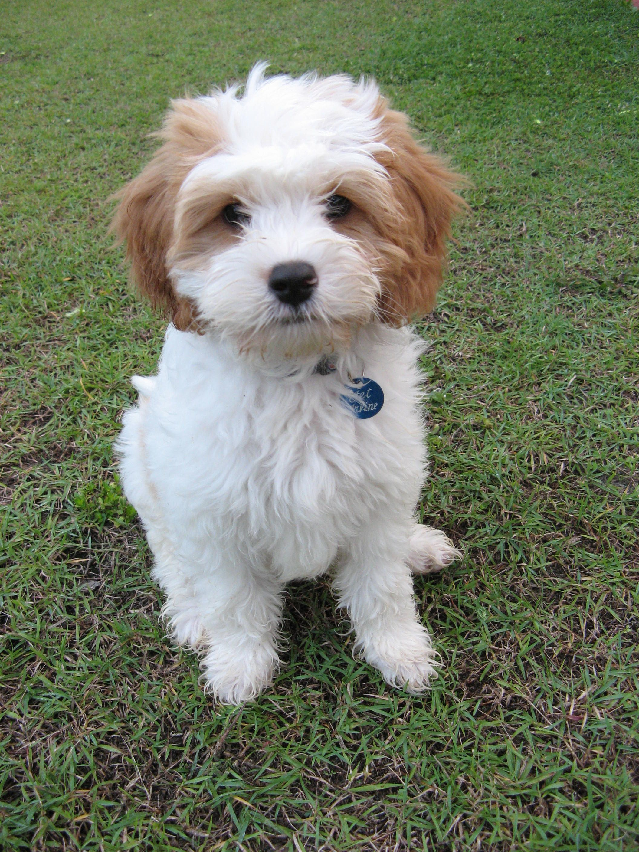Pin By Myoodle On Myoodle Jet Cavoodle Cute Dogs Baby Dogs