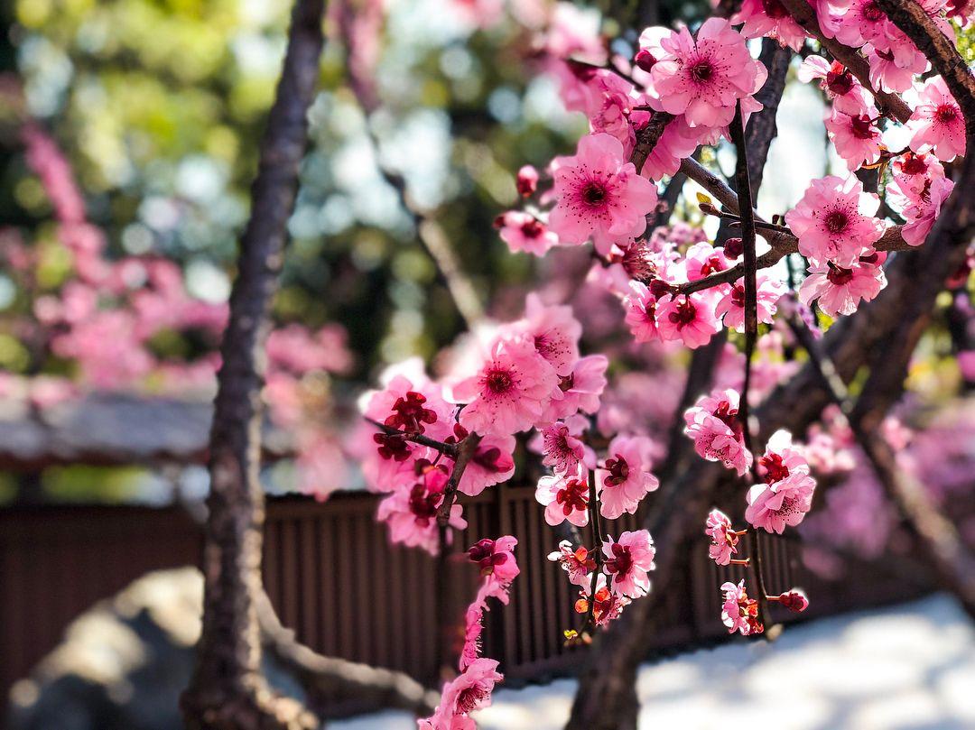 Japan Spring Feels In Sydney Sakura Cherryblossom Botanicalgarden Japan Spring Cherry Blossom Botanical Gardens