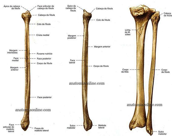 Anatomia Online Ossos Do Membro Inferior Anatomia Dos Ossos