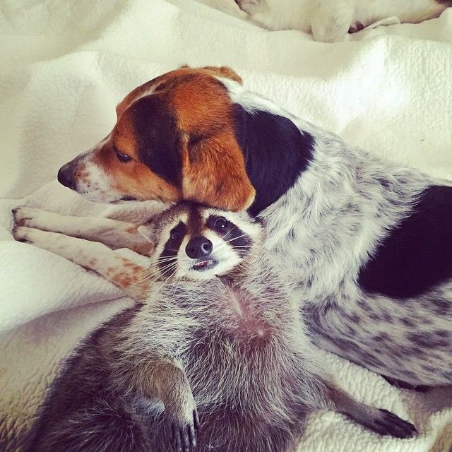 Orphaned Raccoon Rescued By Family With Dogs Thinks She S A Dog Too Dog Cuddles Baby Raccoon Dogs