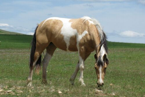 Image detail for -SS ChampagneOn Ice - 2007 buckskin tobiano HAHR filly