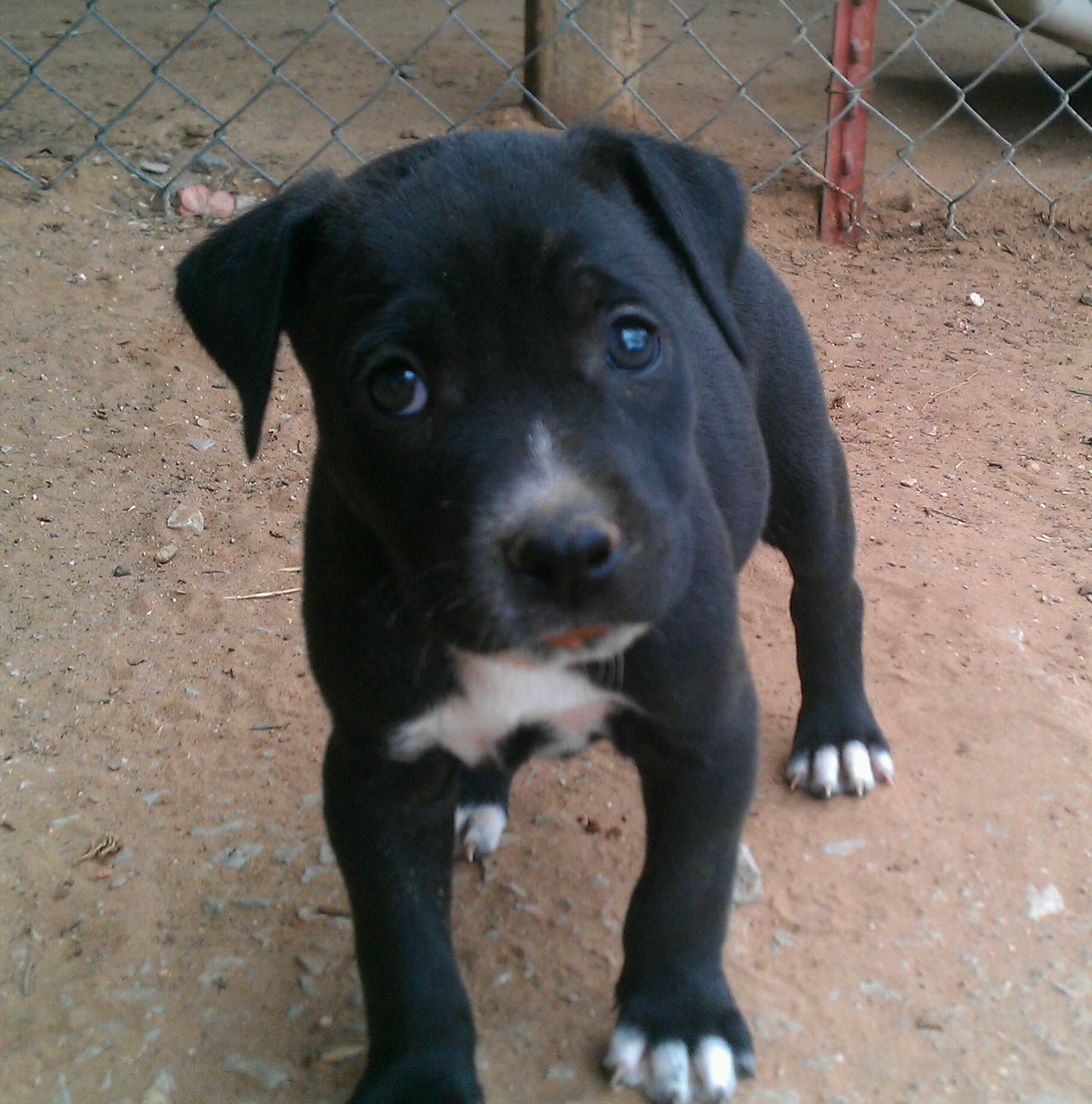 Baby Pitbull 3 Pitbull Puppies Black Pitbull Puppies Black