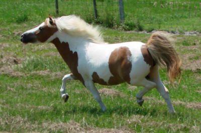 Miniature Horse Breeding Stallions ...