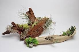 Znalezione obrazy dla zapytania succulents in driftwood