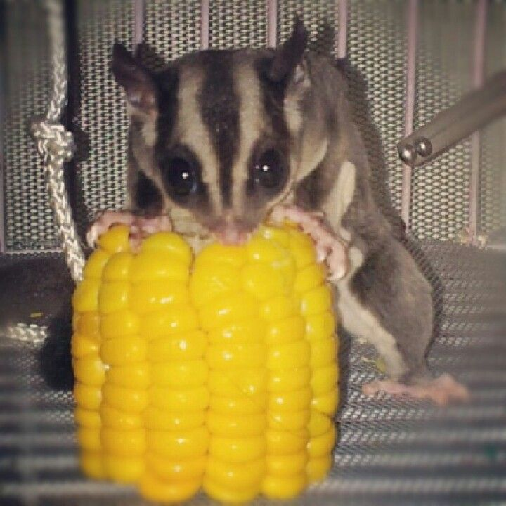This corn is mine!!! Hahahaha!!! *evil laugh* #animal # ...