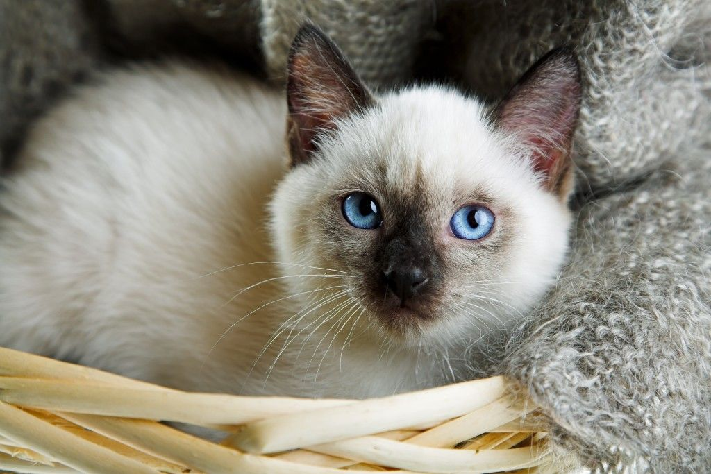 60 Sassy Siamese Cat Names With Images Siamese Kittens