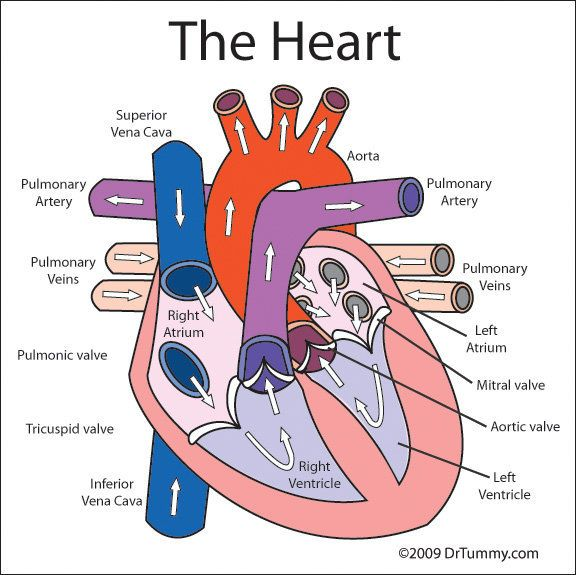 Human Heart Diagram Labeled For Kids