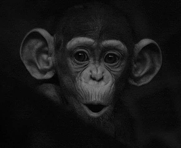 Chimpanzee So Cute Oh My What Big Ears You Have Baby Chimpanzee Chimpanzee Cute Monkey