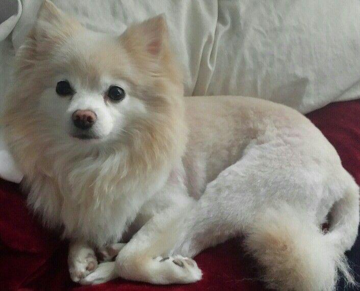 Pomeranian new haircut lion roarrr | Pomeranian haircut ...White Pomeranian Lion Cut