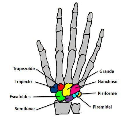1. INTRODUCCIÓN ¿Cuántos huesos tiene la muñeca? ¿Cuáles son? La ...