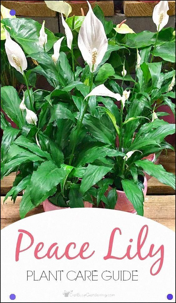 Peace Lilies Are Easy To Grow Houseplants That Thrive Indoors. Pursue These Simp...#easy #grow #houseplants #indoors #lilies #peace #pursue #simp #thrive