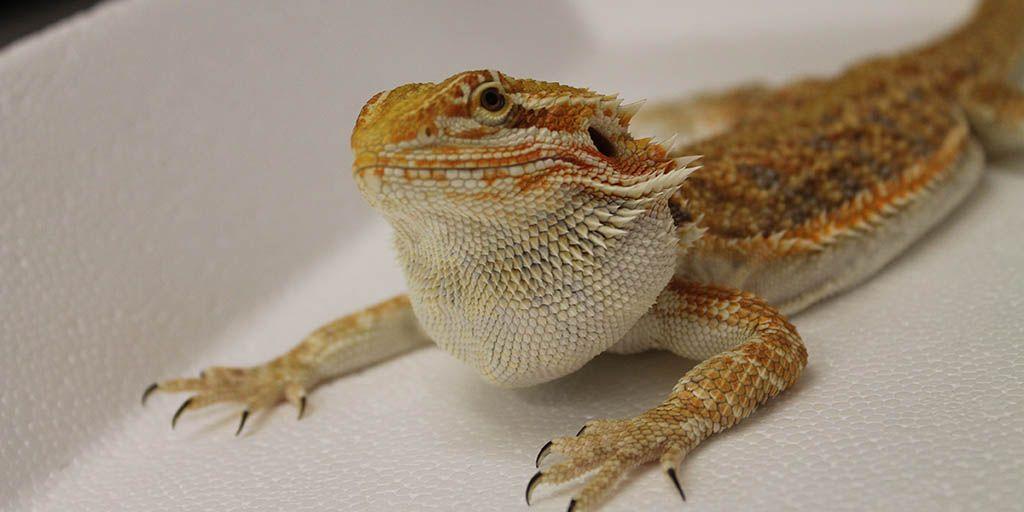 How to identify a sick Bearded dragon | Bearded dragon ...
