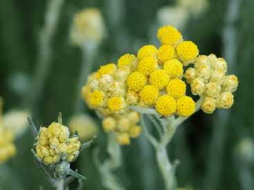 L Immortelle Ou Helichryse Une Fleur Mediterraneenne Plantes