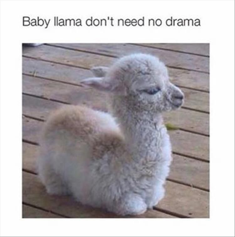 30 Pictures Of Llamas With Caption That Very Cute Funny And