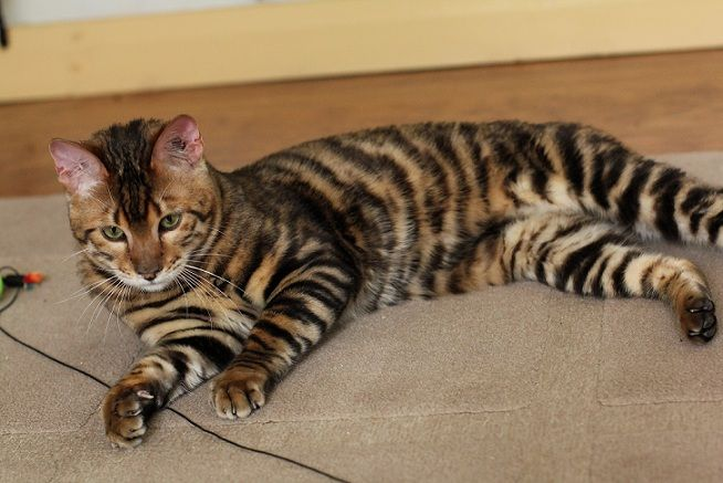Queenanne Cats Toyger Stud Cat Breeder In Bromsgrove West