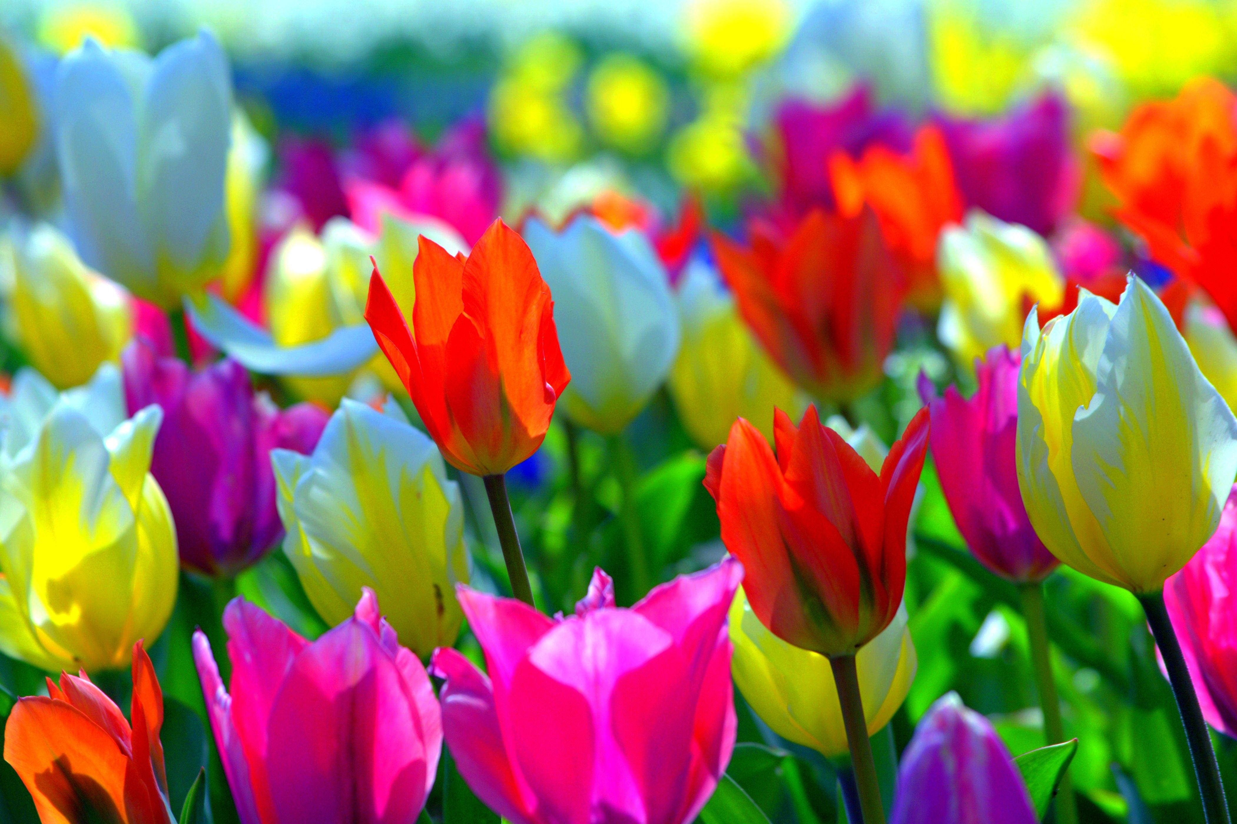 Colorful spring flowers colors tulips nature desktop backgrounds colorful spring flowers colors tulips nature desktop backgrounds mightylinksfo