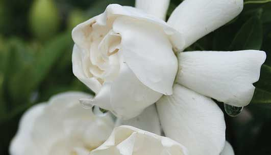 Crown Jewel Gardenia is a low-growing, spreading to prostrate Gardenia with fragrant, double white, medium-sized flowers that bloom in early summer.