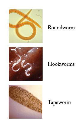 Human Tapeworm Symptoms Larvae |     Zoonotic Disease