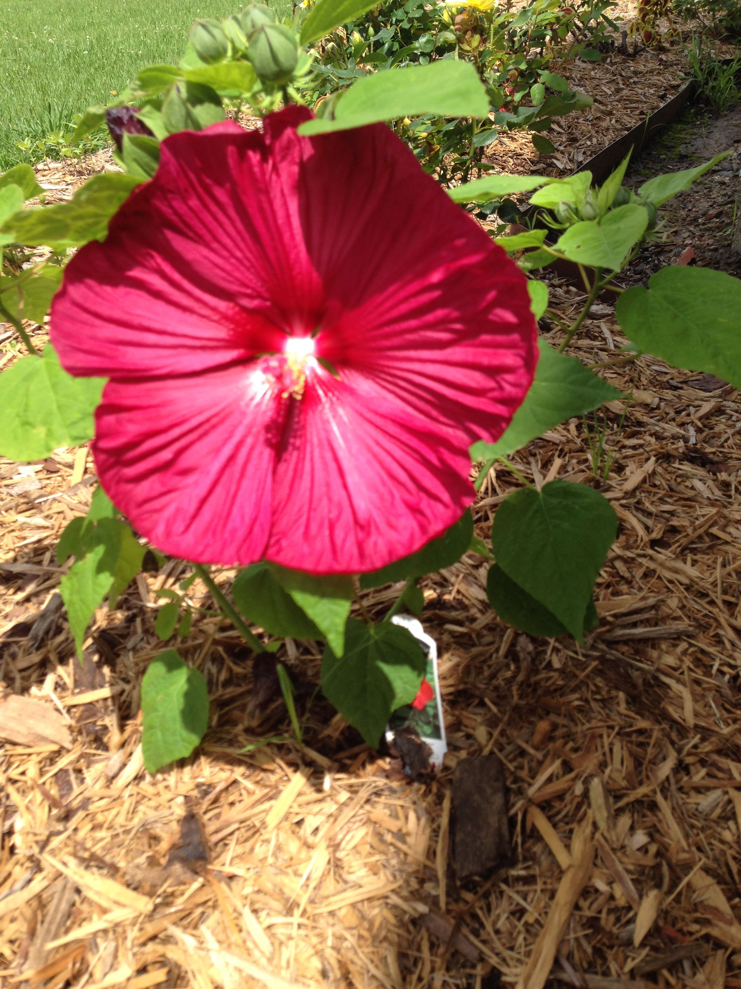 Hardy Dinner Plate Hibiscus My Flowers Pinterest Hibiscus And