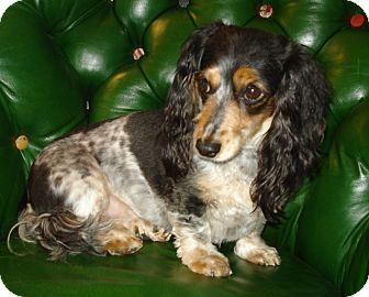 Bella Is A 4 5 Year Old Purebred Miniature Dachshund With A