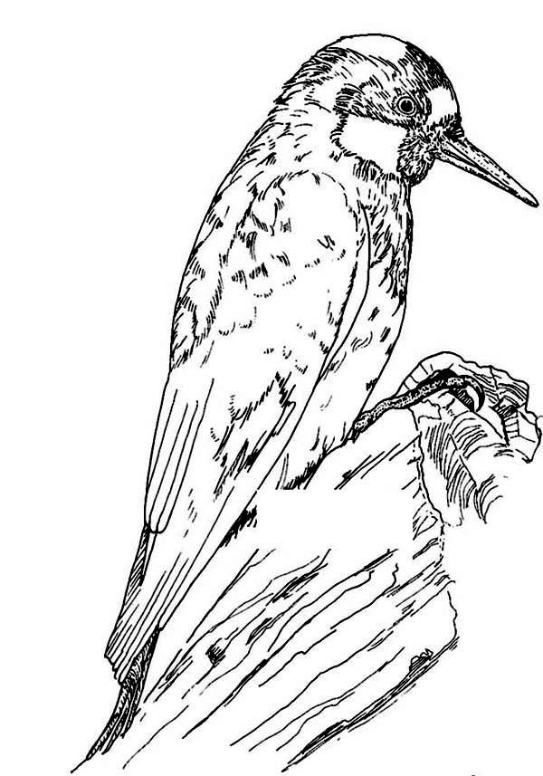 Gorgeous Acorn Woodpecker Coloring Page Coloring Pages