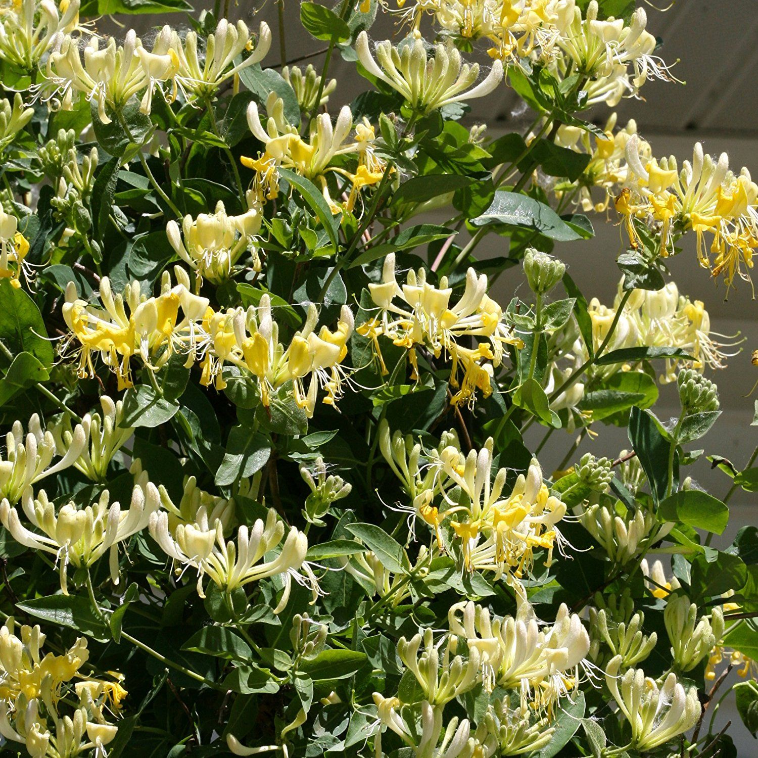 Amazonsmile Scentsation Honeysuckle Lonicera Live Shrub Yellow
